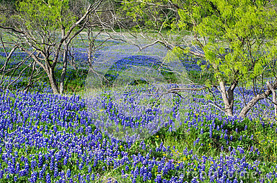 Texas bluebonnets blooming in the spring