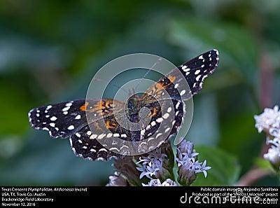 Texas Crescent (nymphalidae, Anthanassa Texana) Free Public Domain Cc0 Image