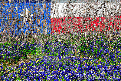 Texas Flag Wild Flower