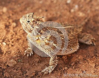 A Texas Horned Lizard