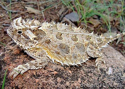 Texas Horned Lizard or horny toad