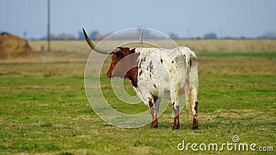 Texas Longhorn Bull Steer Grazing, der Ranch-Tier-Viehbestand schaut stock footage