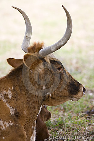 Free Texas Longhorn Cow Resting Stock Images - 5189754