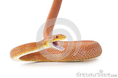 Texas rat snake attacking