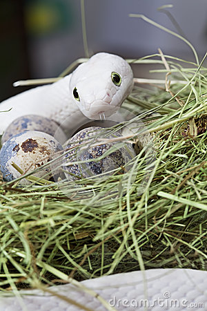 Texas rat snake in a bird s nest
