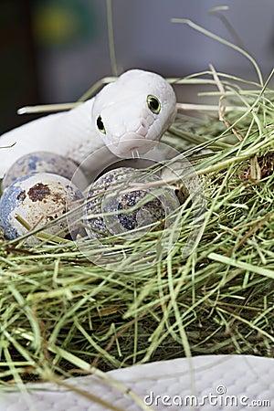 Texas rat snake in a bird s nest
