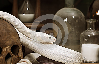 Texas rat snake closeup