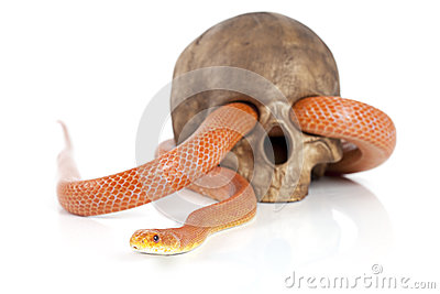 Texas rat snake with skull