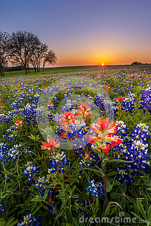 Free Texas Wildflower -  Bluebonnet And Indian Paintbrush Field At Sunset Royalty Free Stock Photography - 51170427