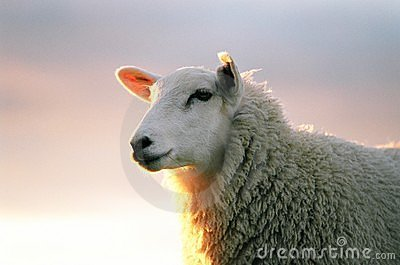 Texil Sheep