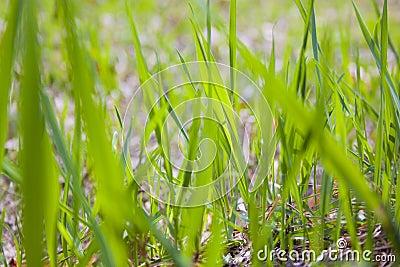 Textura da grama