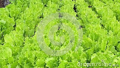 Textura de folhas de alface suculenta. Agricultura. Plantação. Salada video estoque