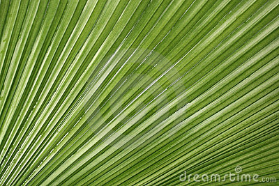 Textura de hoja de palma