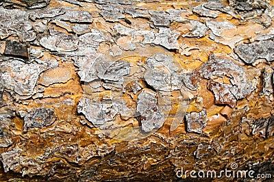Textura de la corteza del pino.