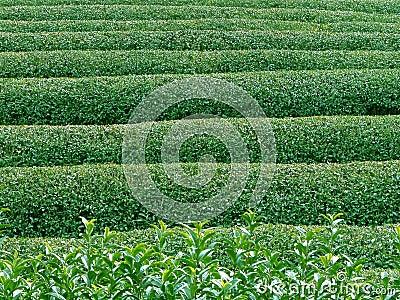 Textura do chá verde