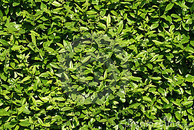 Texture of bush leaves