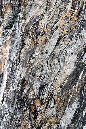 Texture and color of Banian tree trunk surface