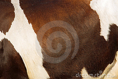 Texture of cow s skin