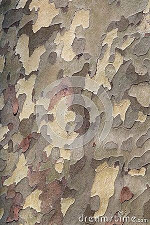 Texture de Platanus