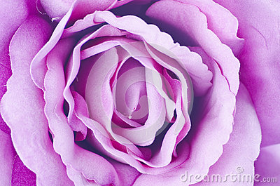 Texture de Rose.