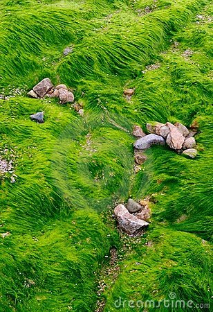 Texture of green algae on  the beach