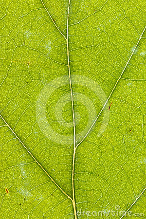 Texture of green dry leaf