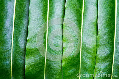 Texture of a green leaf Stock Photo
