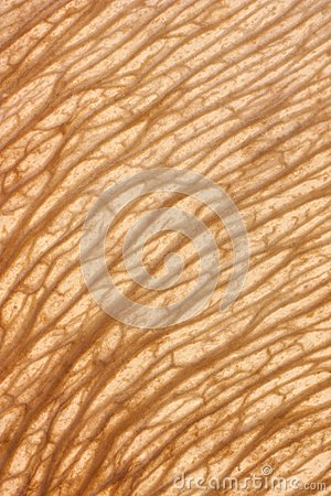 Free Texture Maple Seed Royalty Free Stock Photography - 26424277