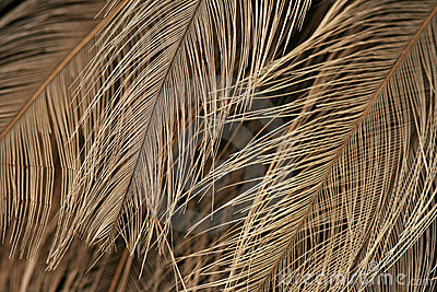 Texture of ostrich plumage