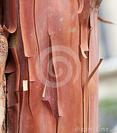 Texture pattern of peeling bark on tree