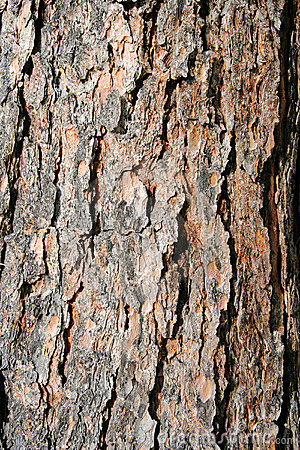 Texture pine tree bark