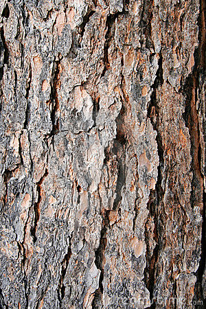 Free Texture Pine Tree Bark Royalty Free Stock Photo - 1981565