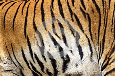 Texture of real tiger