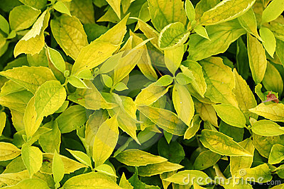 Texture of yellow bush leaves