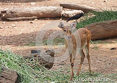 Thai antelope, Thailand