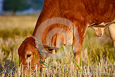 Thai brown cows in rice field