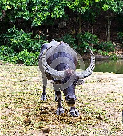 Free Thai Buffalo Royalty Free Stock Image - 20834726