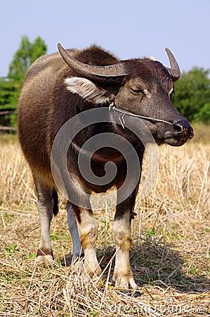 Free Thai Buffalo Stock Photo - 23242380