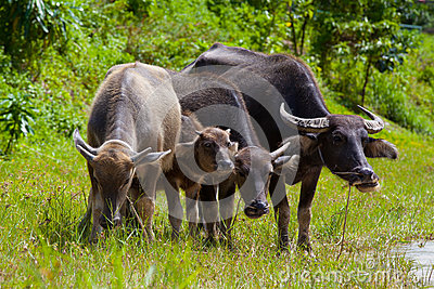 Thai buffalo in grass field
