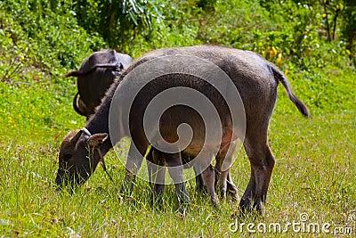 Thai buffalo in grass field