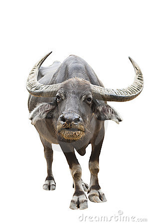 Free Thai Buffalo Isolated With Clipping Path Stock Photos - 22909493
