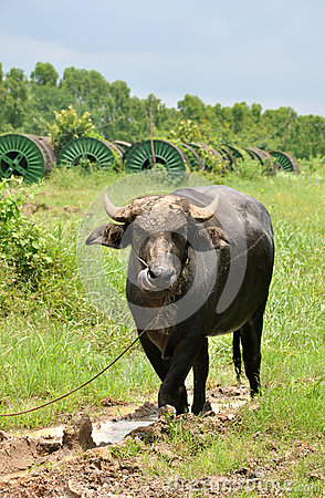 Thai buffalo in mud