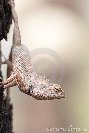 Free Thai Chameleon Hanging Royalty Free Stock Photography - 18707047