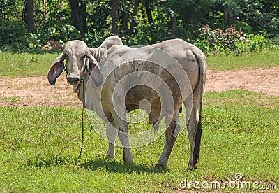Thai cow,Northeast, Thailand.