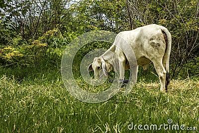 Thai cow