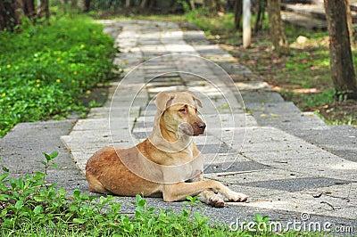 Thai dog on walkway