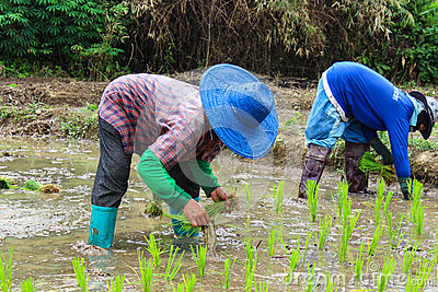 Thai famers planting the seeding of rice Editorial Photography