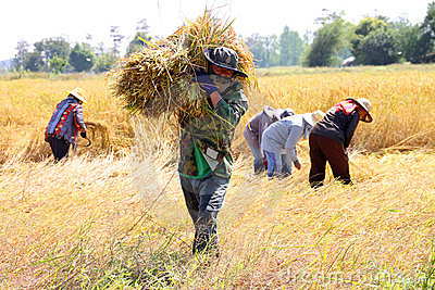 Thai farmer in the harvest time Editorial Photography