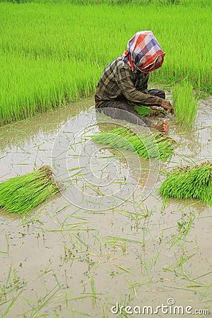Thai farmers planting rice