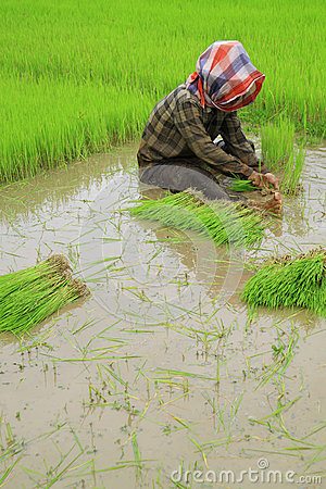 Thai farmers planting rice